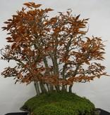 Bonsai Kerbbuche,Fagus crenata, nr. 5785