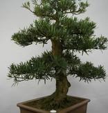 Bonsai Podocarpus, Japanse boeddha den, nr. 5797