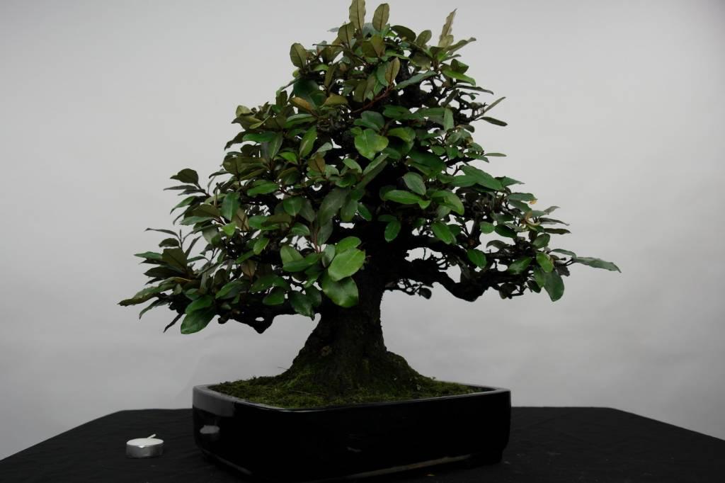 Bonsai Elaeagnus, Olijfwilg, nr. 5143