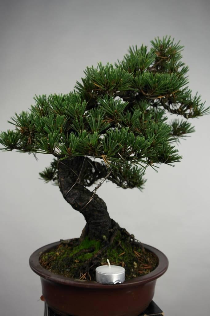 Bonsai Schwarzkiefer kotobuki, Pinus thunbergii kotobuki, nr. 5496