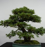Bonsai Azalee Satsuki, Azalea SatsukiJuko no Homare, nr. 5686