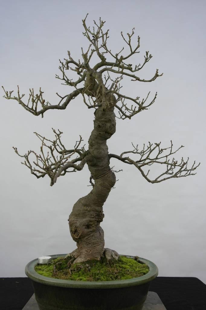 Bonsai Jap. Winterbeere, Ilex serrata, nr. 5131