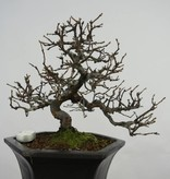 Bonsai Quitte, Cydonia oblonga, nr. 5661