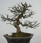 Bonsai Quitte, Cydonia oblonga, nr. 5662