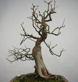 Bonsai Cydonia oblonga, Kweepeer, nr. 5570