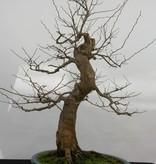 Bonsai Styrax japonicus, Japanse storaxboom, nr. 5804