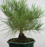 Bonsai Schwarzkiefer, Pinus thunbergii, nr. 5822