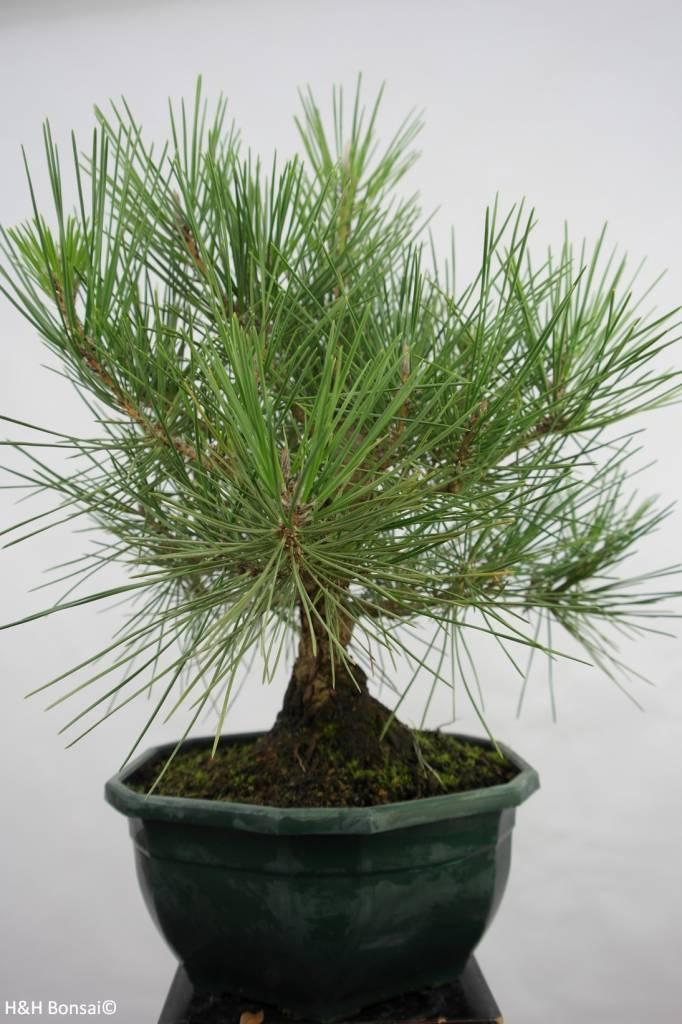 Bonsai Japanese Black Pine, Pinus thunbergii, no. 5822