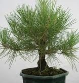 Bonsai Pinus thunbergii, Japanse zwarte den, nr. 5822