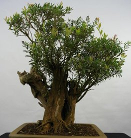 Bonsai Syzygium sp. , no. 5828