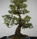 Bonsai Azalea Satsuki, nr. 5673