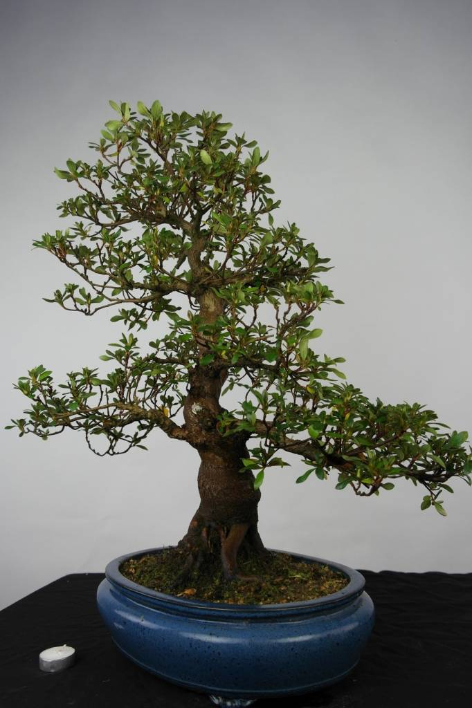 Bonsai Azalee Satsuki, Azalea Satsuki, nr. 5673