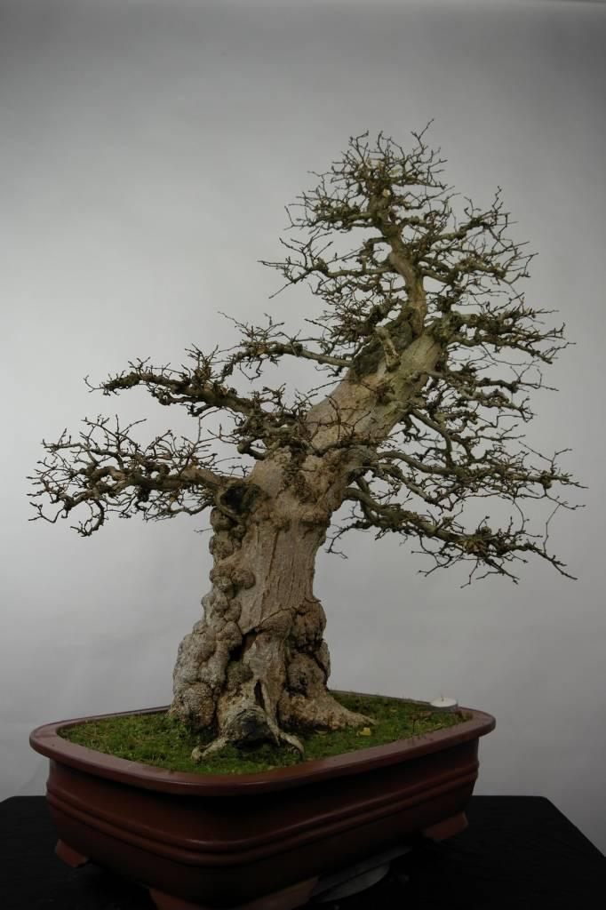 Bonsai Koreanische Hainbuche, Carpinus coreana, nr. 5183
