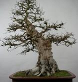 Bonsai Carpinus coreana, Koreaanse haagbeuk, nr. 5183