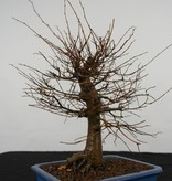 Bonsai Zelkova serrata, nr. 5560