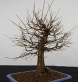 Bonsai Zelkova serrata, no. 5560