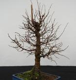 Bonsai Zelkova serrata, no. 5563