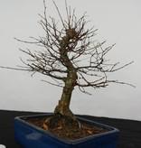 Bonsai Zelkova serrata, nr. 5562