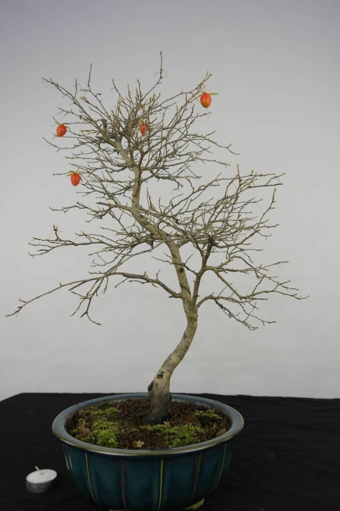 Bonsai Diospyros kaki, Lotus kaki, nr. 5576