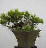 Bonsai Japanese Red Pine, Pinus densiflora, no. 5837