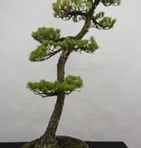 Bonsai Mädchenkiefer, Pinus penthaphylla, nr. 5838