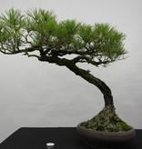 Bonsai Pinus densiflora, Japanse Rode den, nr. 5840