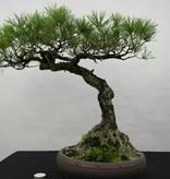 Bonsai Jap. Rotkiefer, Pinus densiflora, nr. 5840