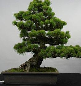 Bonsai Pinus penthaphylla, Japanse witte den, nr. 5843