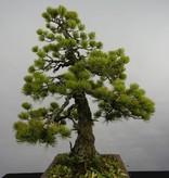 Bonsai Pinus penthaphylla, Japanse witte den, nr. 5845