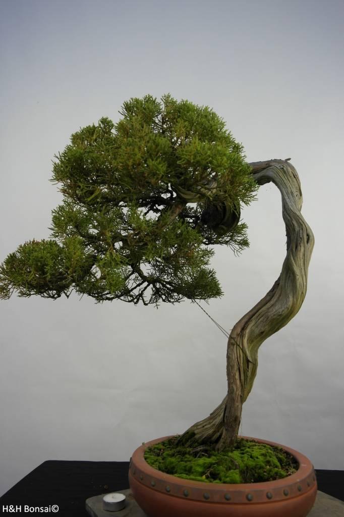 Bonsai Juniperus chinensisitoigawa,Jeneverbes, nr. 5846
