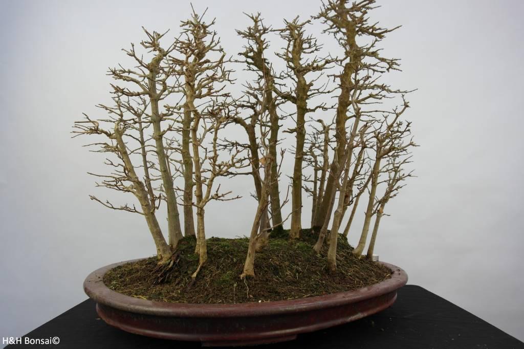 Bonsai Dreispitzahorn, Acer buergerianum, nr. 5852