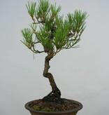 Bonsai Schwarzkiefer, Pinus thunbergii, nr. 5855
