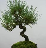 Bonsai Shohin Schwarzkiefer, Pinus thunbergii, nr. 5856