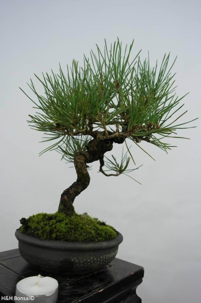 Bonsai Shohin Japanese Black Pine, Pinus thunbergii, no. 5856