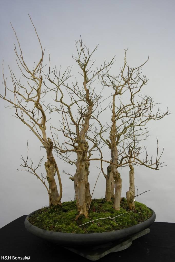 Bonsai Crape Myrtle, Lagerstroemia, no. 5860