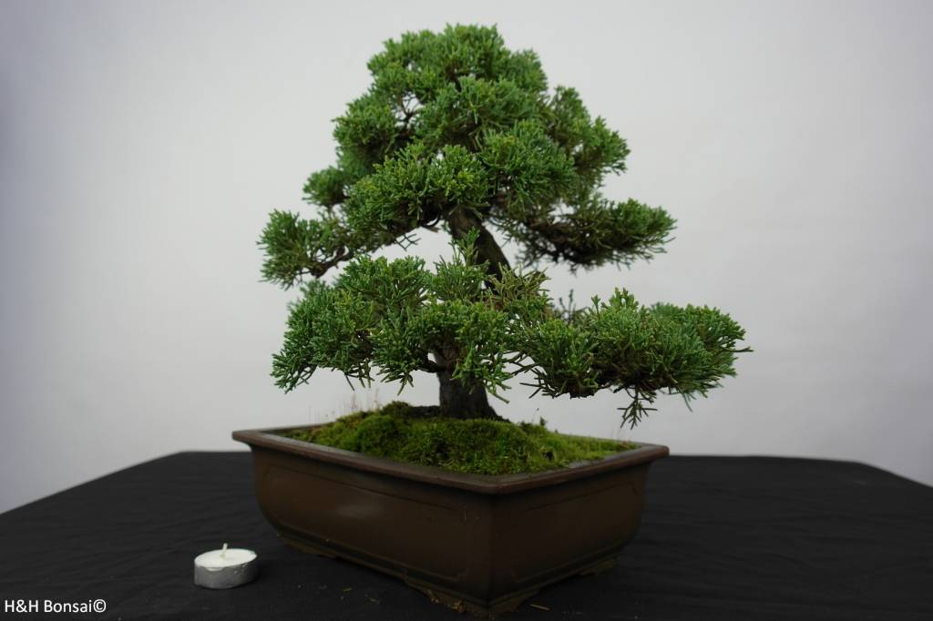 Bonsai Chin. Wacholder, Juniperus chinensis, nr. 5863
