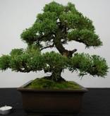 Bonsai Chin. Wacholder, Juniperus chinensis, nr. 5863