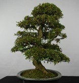Bonsai Azalea Satsuki, no. 5865