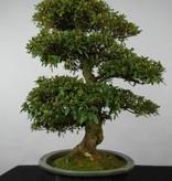 Bonsai Azalee Satsuki, Azalea Satsuki, nr. 5865