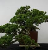 Bonsai Pinus penthaphylla zuisho, Japanse witte den, nr. 5896