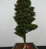 Bonsai Zypresse, Chamaecyparis sp. , nr. 5897