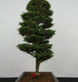 Bonsai Cypress, Chamaecyparis sp. , no. 5897