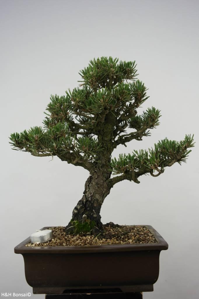 Bonsai Japanese Kotobuki Black Pine, Pinus thunbergii kotobuki, no. 5899