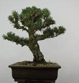 Bonsai Pinus thunbergii kotobuki, Japanse Zwarte den, nr. 5899