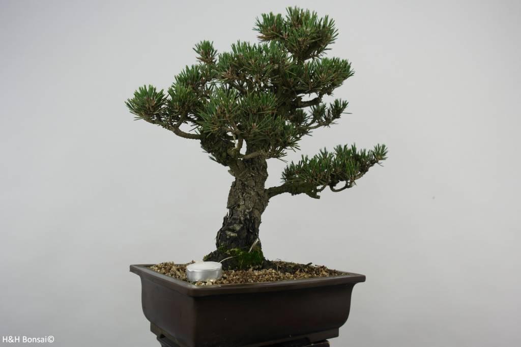 Bonsai Schwarzkiefer kotobuki, Pinus thunbergii kotobuki, nr. 5899
