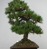 Bonsai Pinus thunbergii kotobuki, Japanse Zwarte den, nr. 5905
