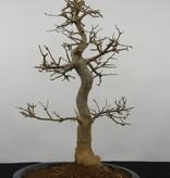 Bonsai Dreispitzahorn, Acer buergerianum, nr. 5925