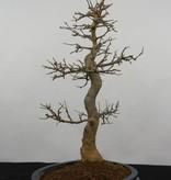 Bonsai Trident maple, Acer buergerianum, no. 5925