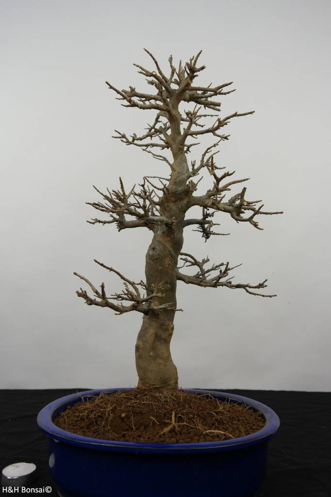Bonsai Trident maple, Acer buergerianum, no. 5926
