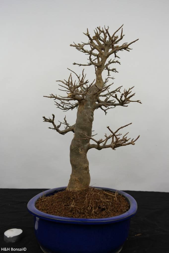 Bonsai Acer buergerianum, Drietands Esdoorn, nr. 5926